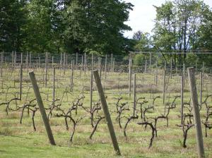 Wine vines.